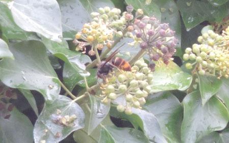 frelon asiatique à Bouchemaine